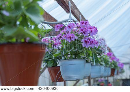 Pink Geranium Flowers. Sunlight. Beautiful Little Flower Of Geranium. Floristry. Ivy-leaf Pelargoniu