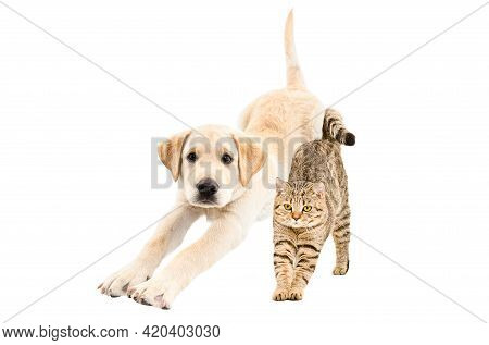 Labrador Puppy And Cat Scottish Straight Stretching Together Isolated On White Background