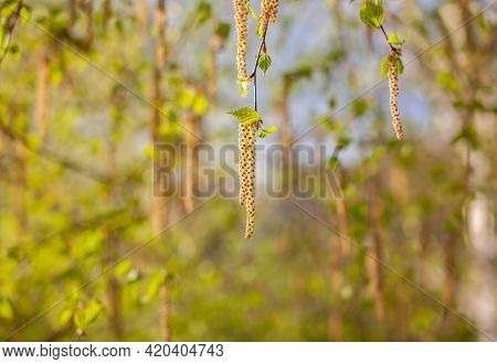 Nice Sunny View Of The Birch Branches. Buds And Bright Green, Small Leaves Thrives. Decorative Birch