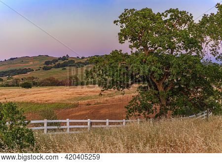 Landscape With A Large Oak Tree, And Hills And Valleys At Sunset At A Vineyard In The Spring In Napa