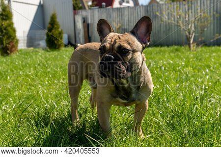 Adorable Brown Frenc Bulldog On A Backyard Enjoing Summer Sunny Day