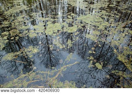 Trees Are Reflected In Overgrown Water In The Swamp. Swamp In The Forest.