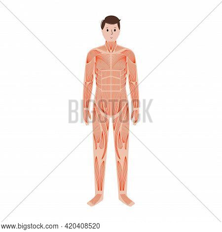 Human Muscular System Anatomical Poster. Structure Of Muscle Groups And Ligaments Of Men In Front Vi