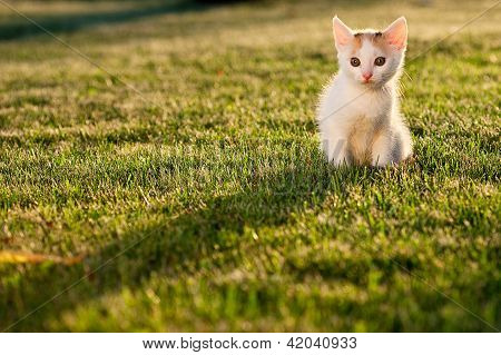 Small Kitten