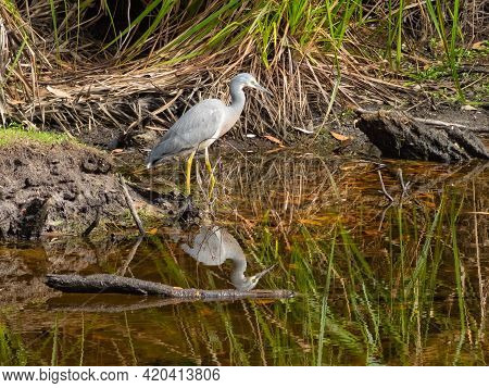A White-faced Heron Is Looking For Breakfast In The Creek At The Refuge Cove Campsite - Wilsons Prom