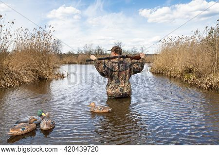 A Hunter Stands Waist Deep In Water On A Lake Overgrown With Reeds. The Plastic Duck Decoys  Swim Ne