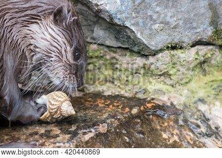 Otter Playing With A Sea Shell. Close-up Of River Animal Face. Curious Asian Small-clawed Otter Ambl