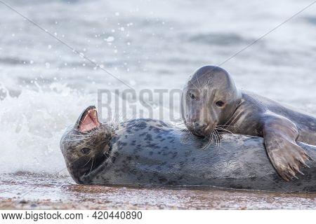 Breeding Pair Of Grey Seals. Animal Affection. Beautiful Wildlife Photography Image. Playful Seals F