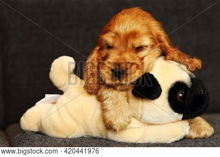 Beautiful And Cute Golden English Cocre Spaniel Puppy On The Sofa. Morning. Grey Background.