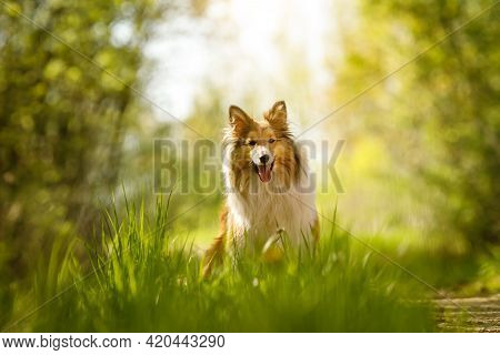 Happy Dog In A Forest. Shetland Sheepdog Is Sitting On A Grass.