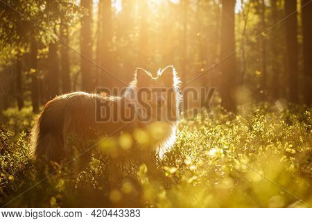 Happy Dog In A Forest. Shetland Sheepdog - Sheltie At Sunset.