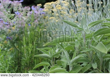 A Field With Healthy Sage In The Garden