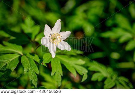 A Single Close Up Of A Wood Anemone Or Anemonoides Nemorosa