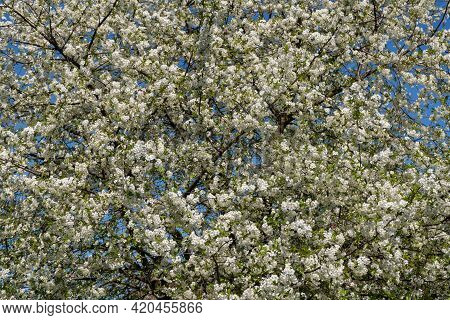 The Branches Of A Large Flowering Cherry Tree Covered With White Flowers Against The Blue Sky