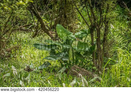 A Giant Arrowhead Plant With Huge Leaves Growing In Shallow Muddy Water With Other Smaller Arrowhead