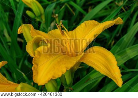 Flower Beds With Flowers In Summer Garden. Yellow Daylily Flower (latin: Hemerocallis) On Green Leav