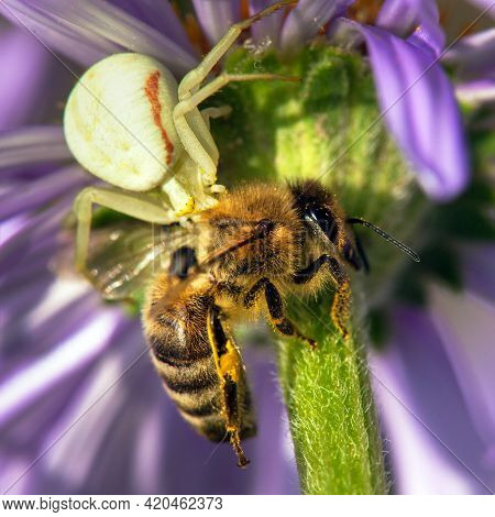 Bee Or Honeybee Killed By A Spider, Hunter And Victim, Apis Mellifera