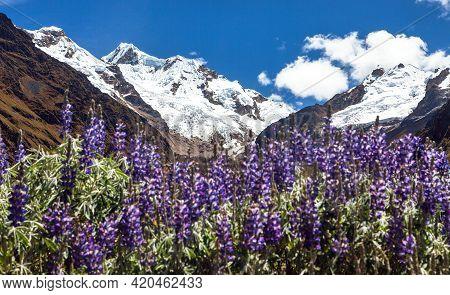 Mount Saksarayuq With Lupinus Flowers, Andes Mountains, Choquequirao Trekking Trail Near Machu Picch