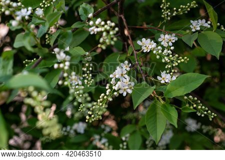 Close-up Of A Blooming Bird Cherry With Selective Focus And Shallow Depth Of Field. The Focus Is On