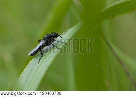 Eurytoma Schreineri. Bibionomorpha. Mosquito. Mosquito Resting On Green Grass. Male And Female Mosqu