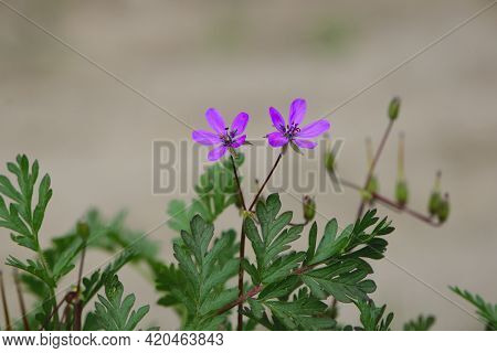 Geranium Robertianum. Purple Flowers Of Wild Geranium Maculatum. Macro Photo Of Nature. Floral Backg