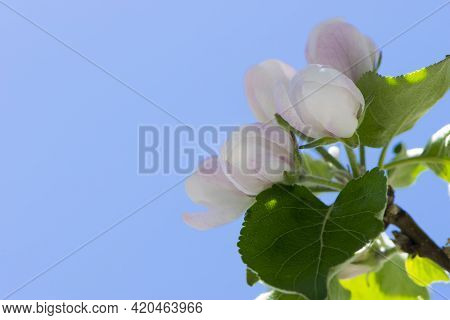 Trees In Spring Gardens Bloom. Delicate Apple Blossom. Buds On A Branch, Spring Flower In The Garden