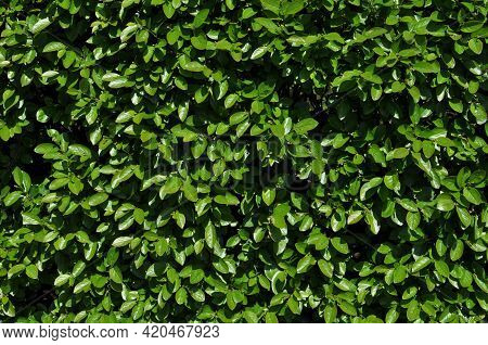 Blooming Leaves Of Bushes. Early Spring, Background, Texture. Green Leaves Of Bushes.