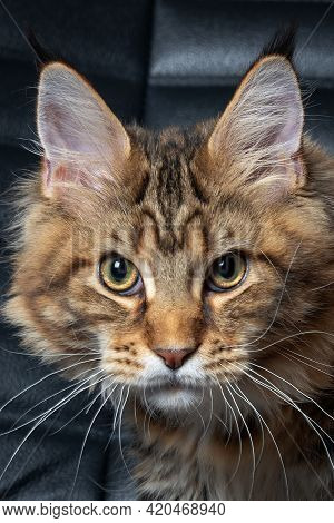 Portrait Of Young Maine Coon Cat On Black Leather Chair Background, Looking Seriously Right To The C