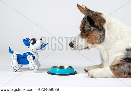 Two Dogs, Real Welsh Corgi Cardigan And Electronic Interactive Puppy Toy Look To Each Other In Front
