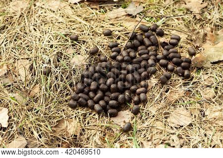 Deer Droppings In The Forest On The Grass. Fresh European Fallow Deer Droppings. Deer Droppings. Fec