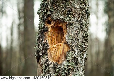 A Hollow In A Rotten Old Tree. Part Of An Old Rotten Tree Trunk With A Hollow Old Tree Trunk Decorat