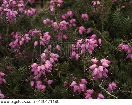Erica Blue Bush Fine-leaved Heath With Small Flowers And Leaves