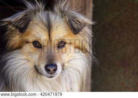 Closeup Portrait Of Cute Mutt Dog. The Muzzle Of A Mongrel With Red Hair