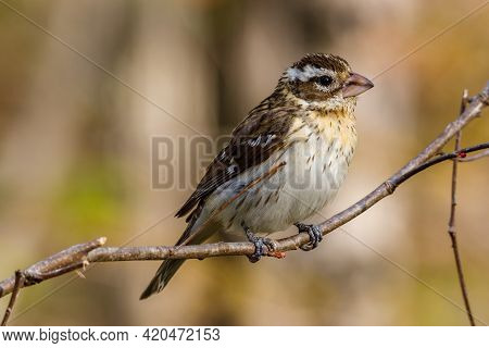 Close Up Of A Female Rose-breasted Grosbeak (pheucticus Ludovicianus) Also Known As A Cut-throat, Pe