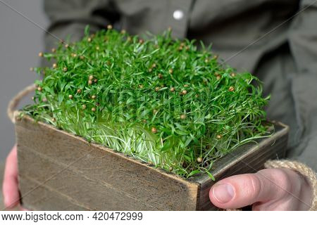 Female Hands Holding A Box With Coriander Microgreens. Raw Sprouts, Microgreens, Healthy Eating Conc