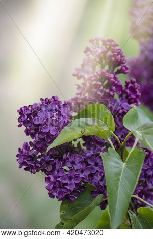 Tender Purple Lilac Syringa Vulgaris Flowers Closeup As Background. Spring Lilac Blossom. Bright Pur