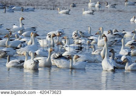 Flocks Of Snow Geese Swimming In The Waters Of The Colusa National Wildlife Refuge, In The Sacrament