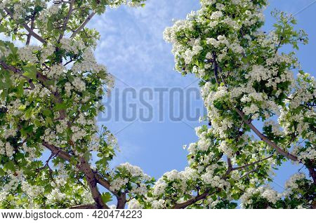 Beautiful Hawthorn Shrub Blossom With Blue Sky On The Background. Hawthorn Flowers Blooming On Branc