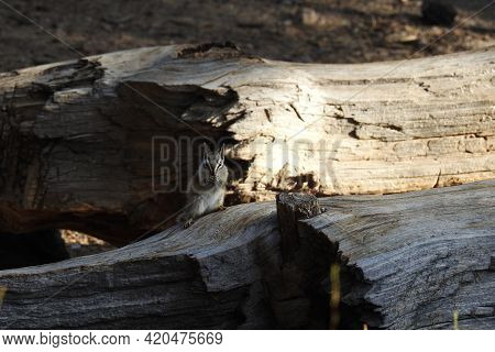 A Lodgepole Chipmunk Enjoying A Beautiful Day In The Los Padres National Forest, Ventura County, Cal