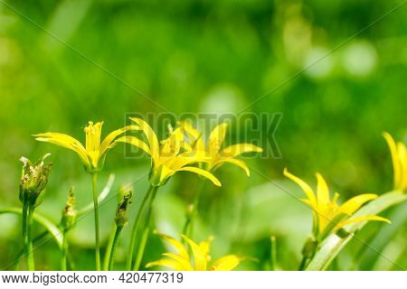 Yellow Small Flowers On A Background Of Blurred Grass In The Summer.