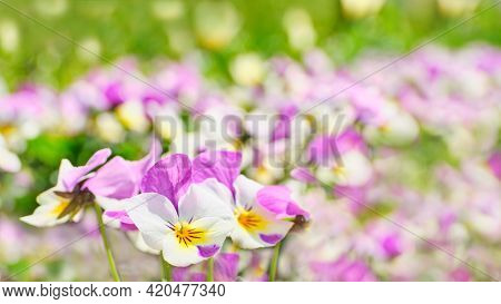 Summer Background Of Pansy Flowers Blooming In The Park.