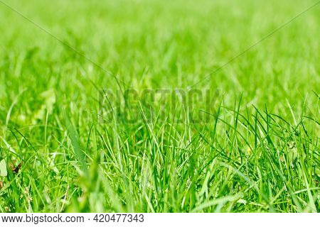 Summer Background Of Fresh Blooming Green Grass.