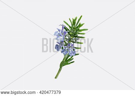 Rosemary Branch With Leaves And Blue Flowers Isolated On White. Salvia Rosmarinus Plant