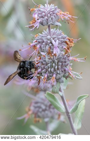 Large Carpenter Bee Extracts Pollen From Wild Flower In Estuary While Delicately Perched On The Peda