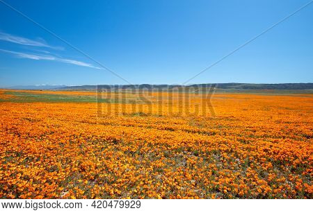 Field Of California Golden Orange Poppies Under Blue Desert Sky In The High Desert Of Southern Calif
