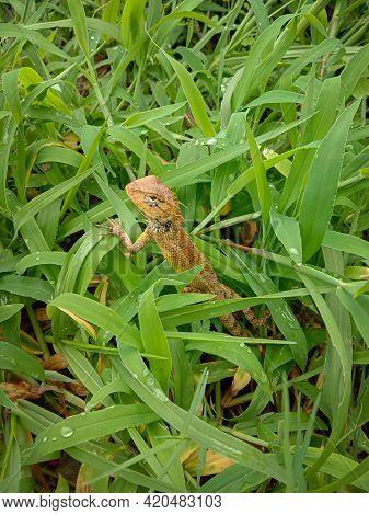 Picture Of Female Oriental Garden Lizard In Grass. Himachal Pradesh India