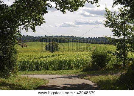 Englische Weinberg. Surrey. England