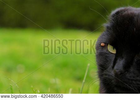 Ticks In A Cat. Ticks In Animals.tick Sucks Blood In A Cat.tick Season. Blood Sucking Insects