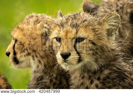 Close-up Of Cheetah Cub Sitting Beside Another