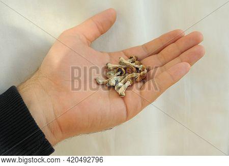 Psilocybe Cubensis Mushrooms In Man's Hand On White Background. Psilocybin Psychedelic Magic Mushroo